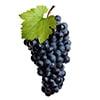 Wine Grapes Cluster sorting,processing machine,sorter,sorting machine