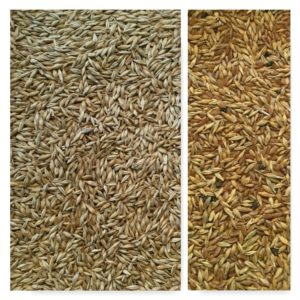 barley sorting, IST sorting, wheat sorting, IST sorting, Italian sorting equipment, sorting machine