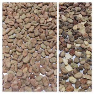Beans sorting, fave beans sorting, IST Sorting, Italian sorting