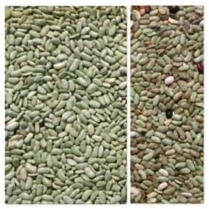 Green beans sorting, bean sorting, IST sorter, Italian sorter