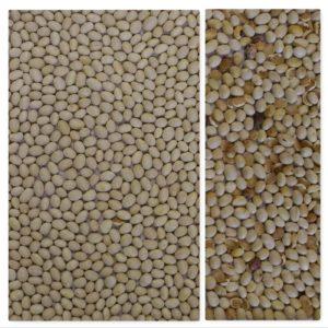 Beans sorting, white beans sorting, IST sorter, Italian sorter