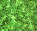 herb sorting, green leaves sorting